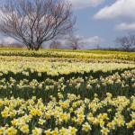 広島の備北丘陵公園の桜はつぼみだった2015年3月29日